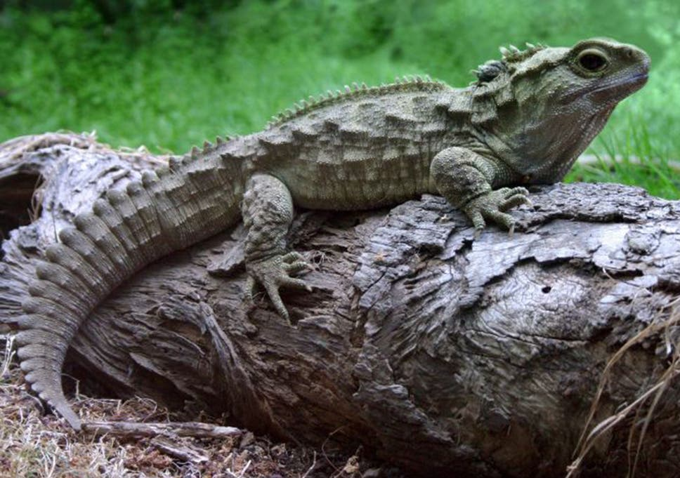 The Tuatara Is Extinct In Wild Everywhere Except New Zealand