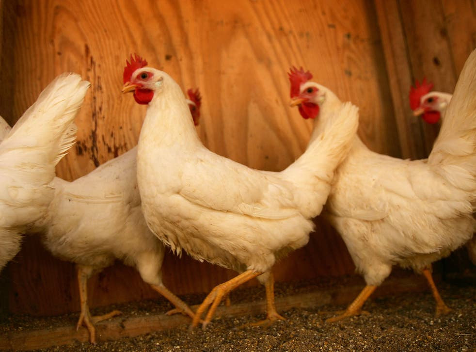 The foul facts about chicken breeding and consumption