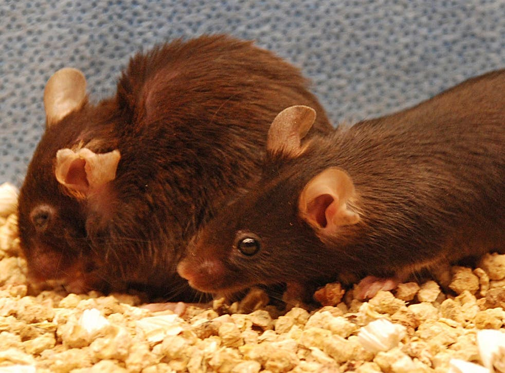 A frail and ragged-looking mouse (left) which is suffering from the effects of ageing, and a mouse (right) which should be too, but benefited from an anti-ageing treatment that removed its 'senescent' cells