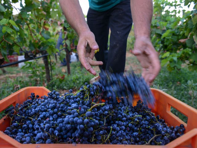Cream of the crop: A grape harvest in Athens