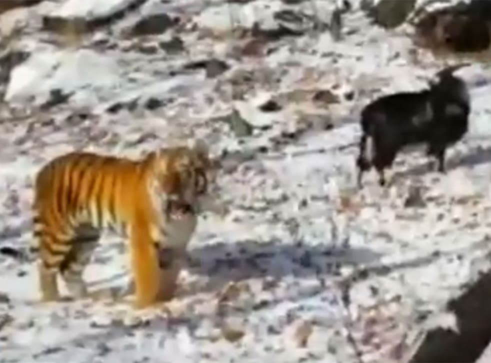 The goat and the tiger were seen together in Russian news footage