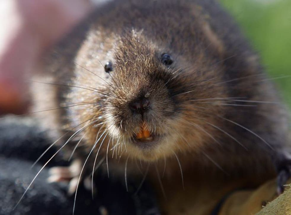 Their size and colour mean that voles are often mistaken for rats