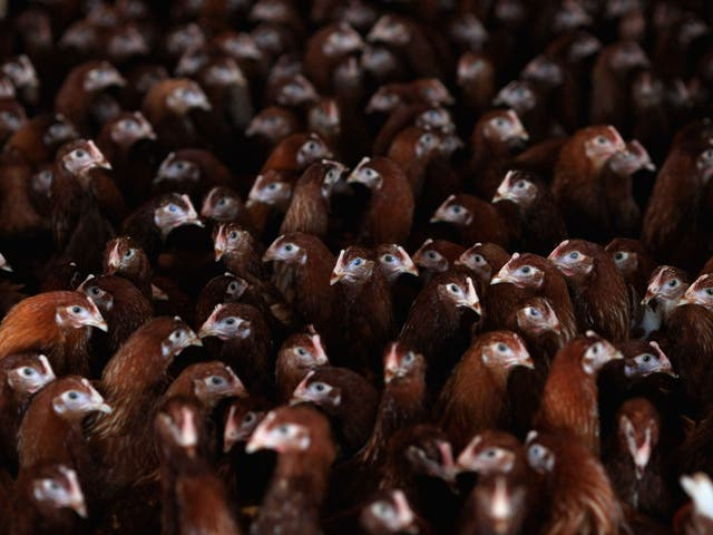 Critics say some poultry farms use excessive antibiotics to mask crowded, insanitary conditions which encourage diseases
