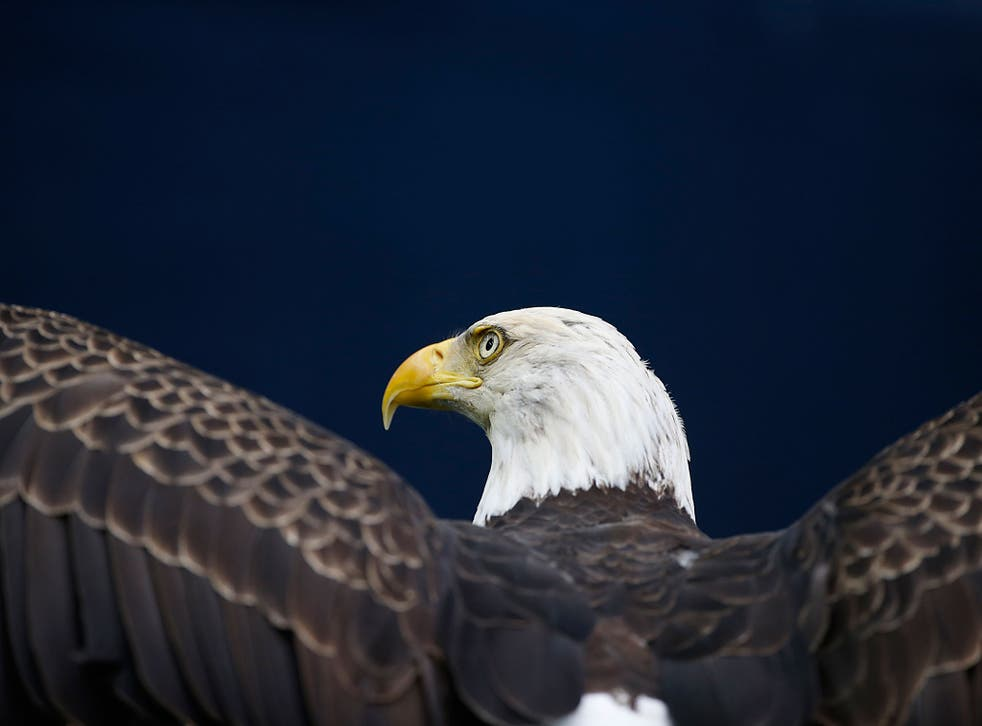 An American Bald Eagle