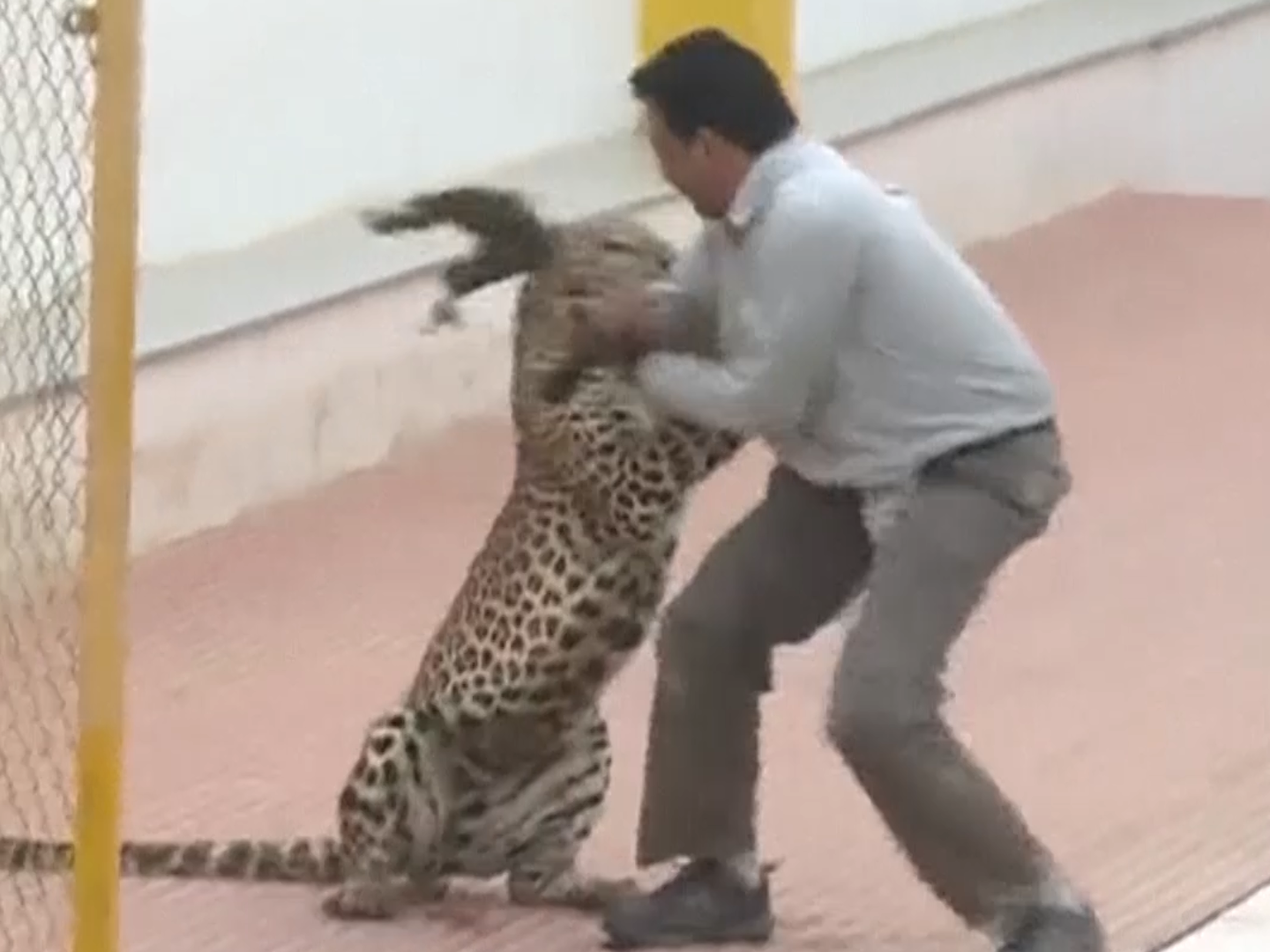 leopard attack footage after animal enters indian school
