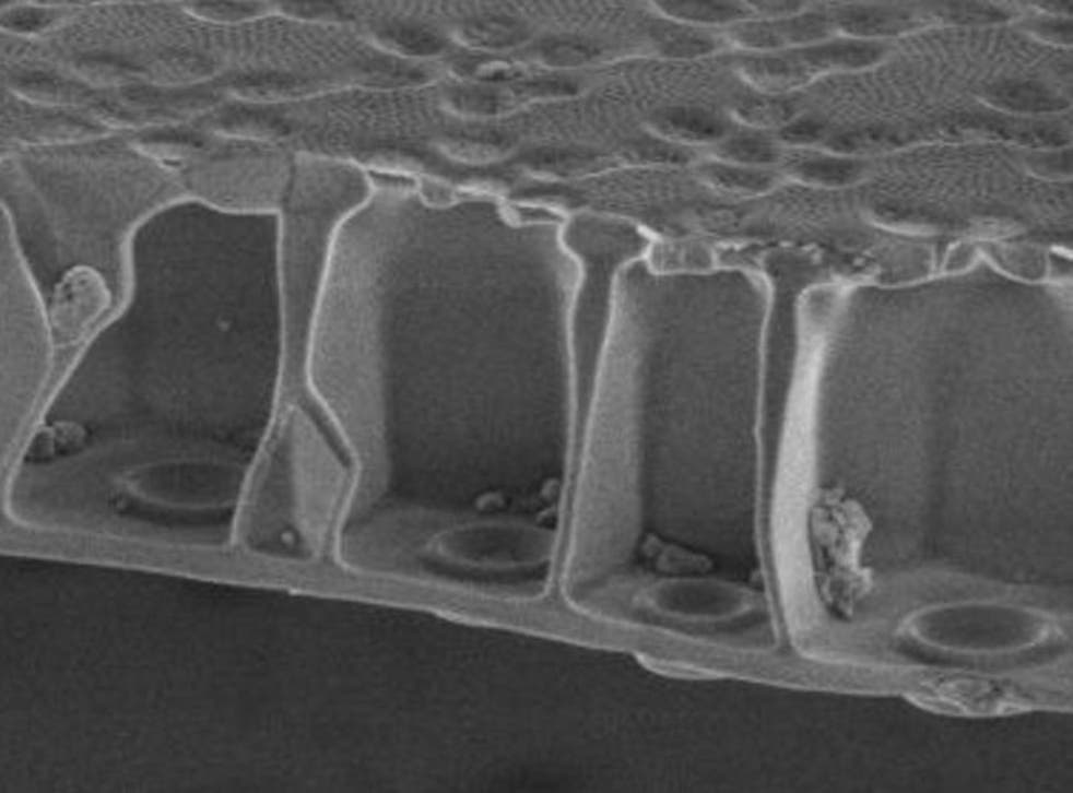 A cross-section of the diatom's silica frustule shows the honeycomb construction that scientists believe give the structure strength