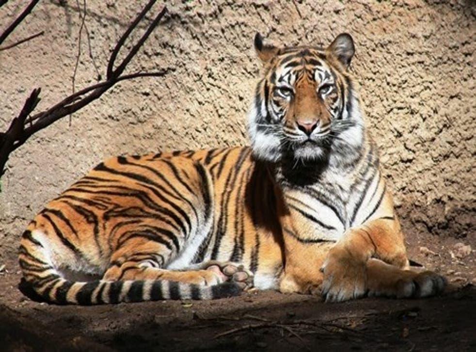 Baha the female Sumantran tiger
