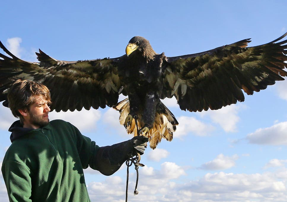 Gigantic\' eagle Rex returns home after flying off \'for a jolly ...