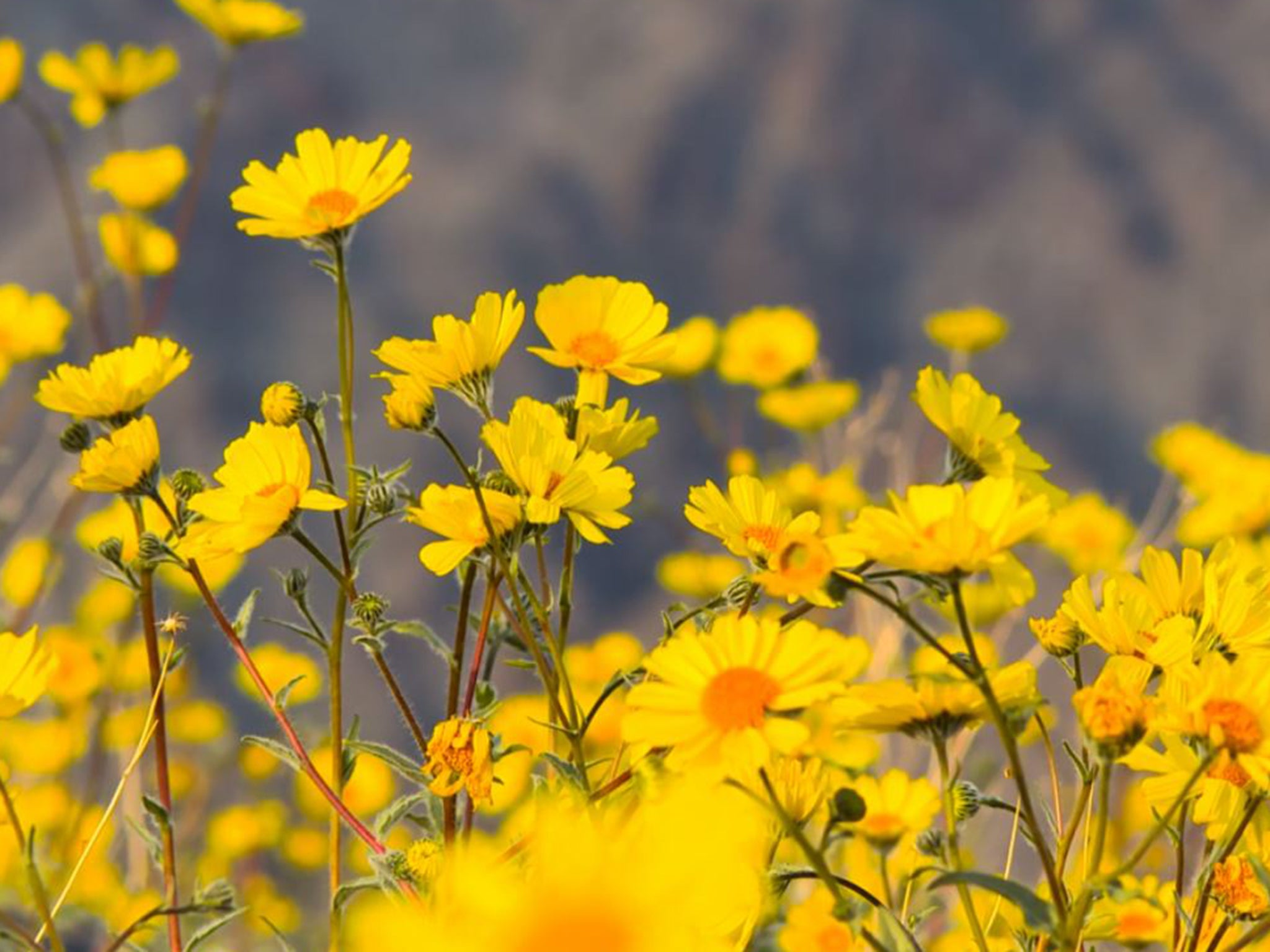 Death Valley The Hottest Place On Earth Is Covered In Wildflowers