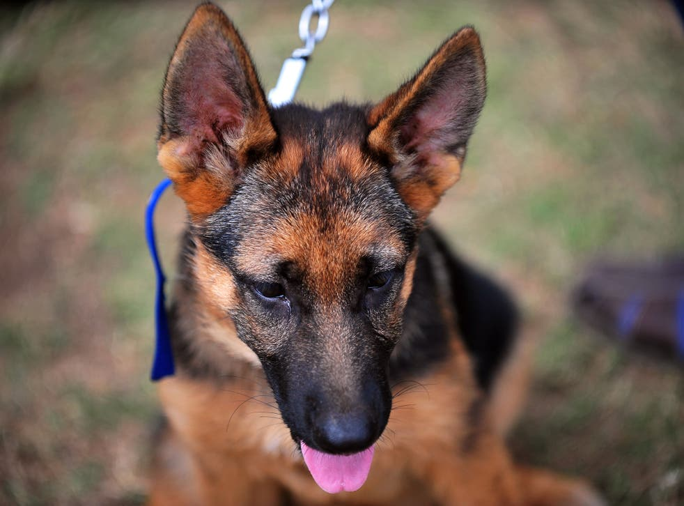 Today's German shepherds are bred to be considerably larger than 100 years ago