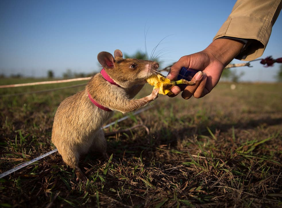 Rat-like cunning: a mine detection rat is given banana as a reward after successfully identifying a landmine in Cambodia