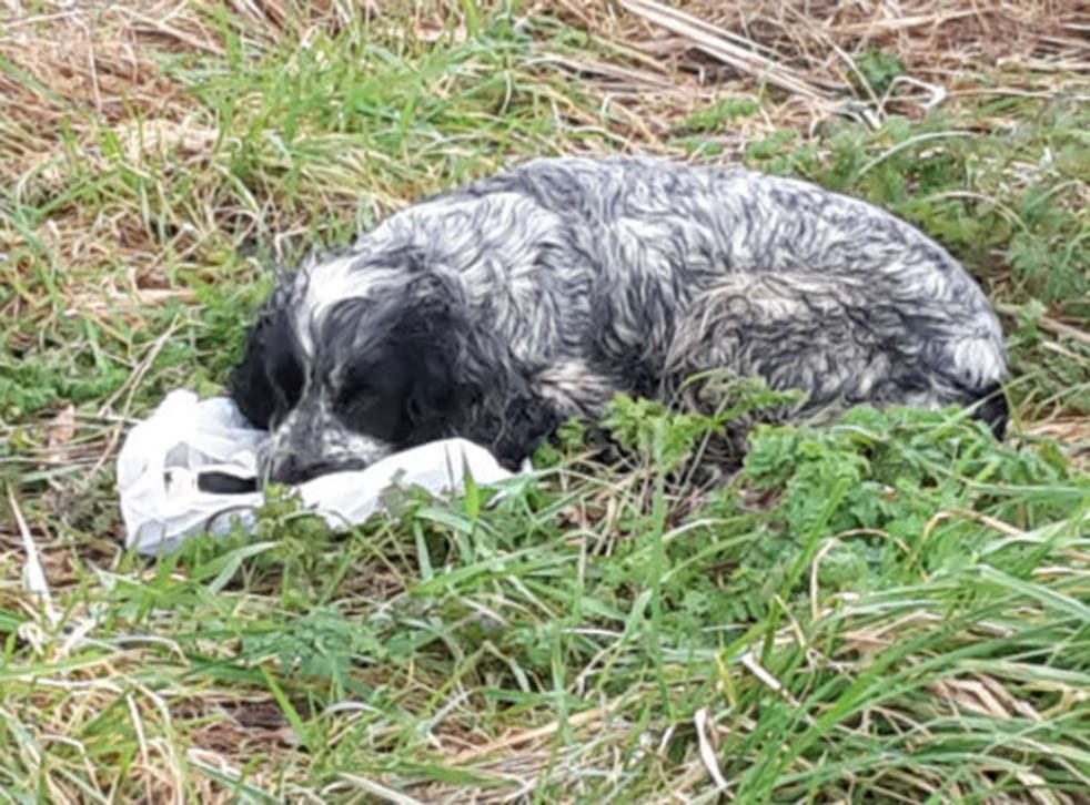 The spaniel was found along with her dead puppies in a chip shop bag