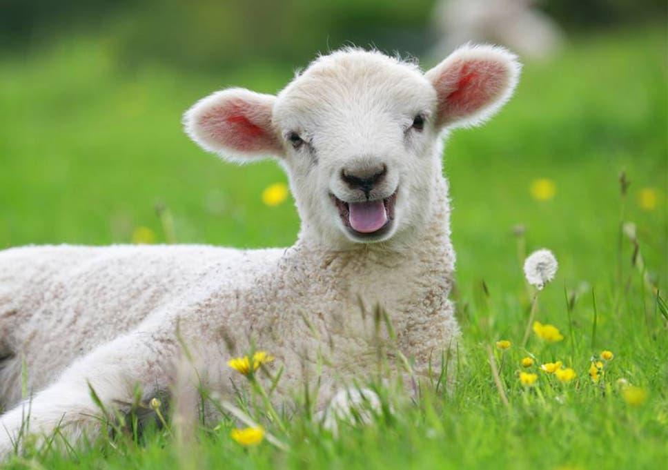 Kết quả hình ảnh cho the lamb