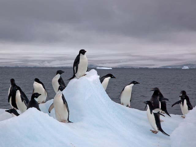 Scientists still know little about how the penguins emigrate between colonies