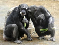 does the chimpanzee have a theory of mind