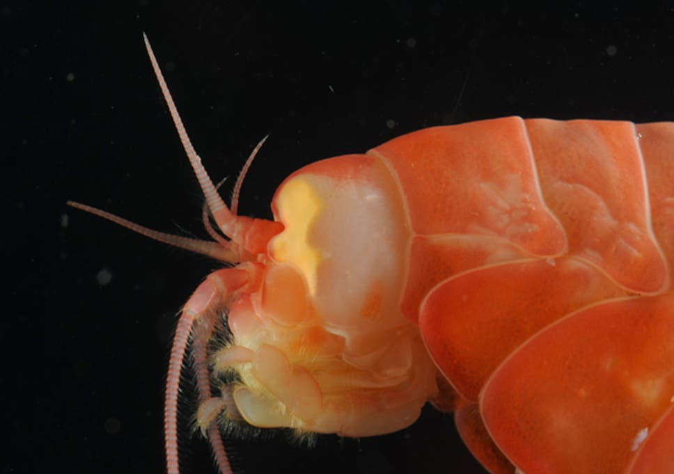 Many Marine Organisms Are Found In The Hadal Zone Including Amphipod