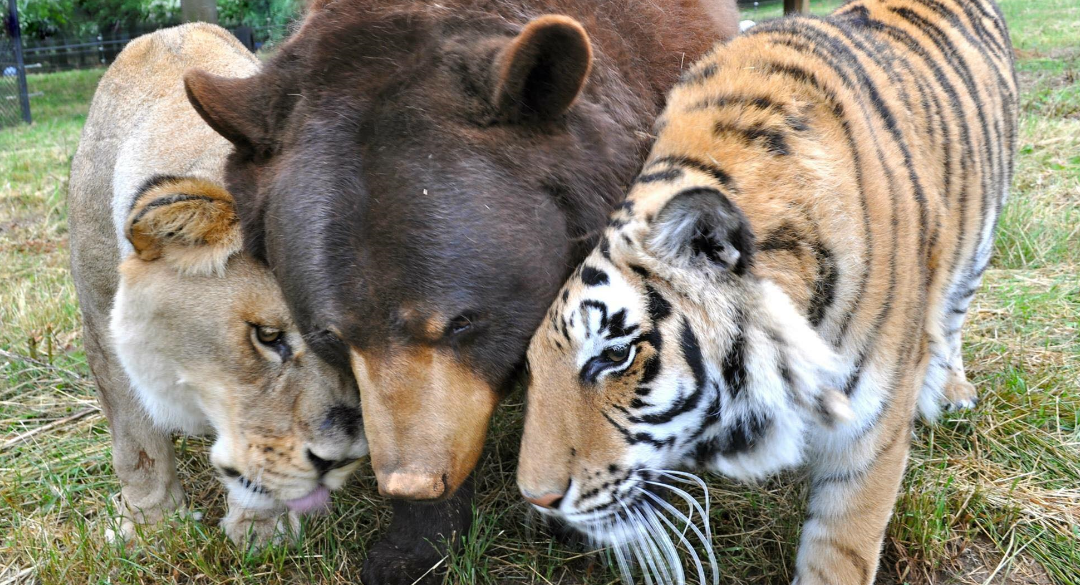 lion and tiger sex