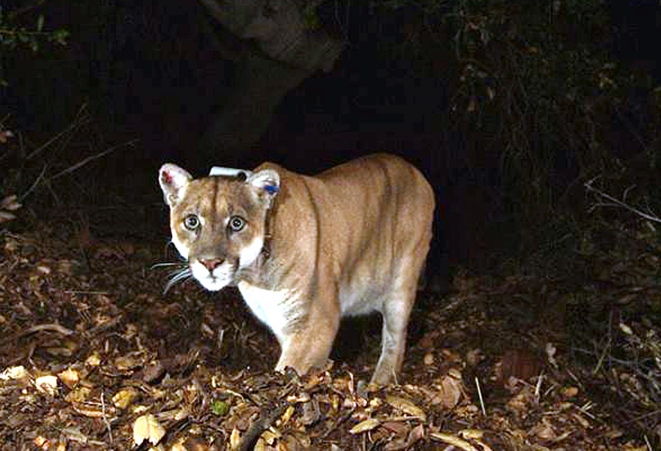 Colorado jogger chokes mountain lion to death then drives himself to  hospital after being attacked  129de9a8dcb