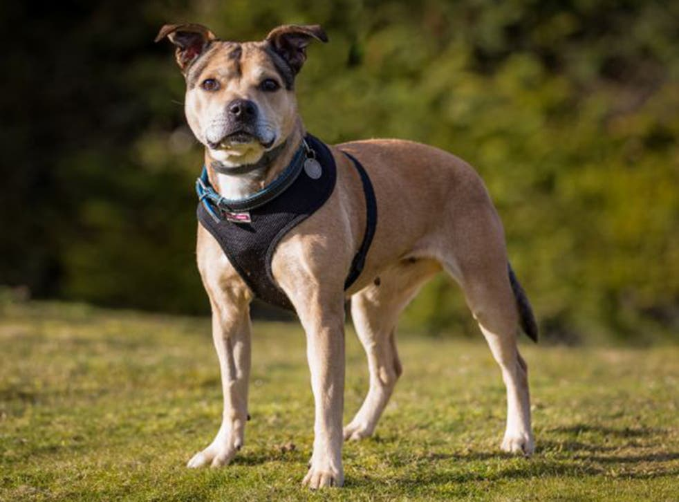 Staffordshire bull terrier crossbreed, 'Ellie', WLTM owners living in a fun, active home