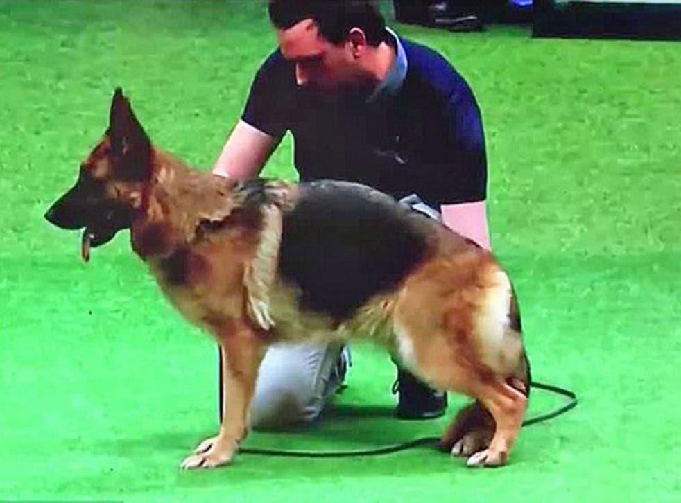 The winning German shepherd Cruaghaire Catoria, whose 'deformity' upset viewers