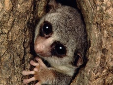 Why this lemur may hold the key to our exploration of the universe