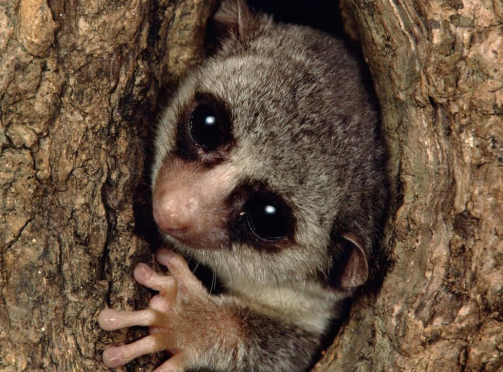 Nearly every species of lemur is under threat, including the fat-tailed dwarf lemur