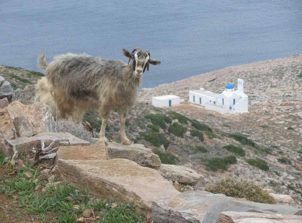 On the hoof: mountain goat, Sifnos