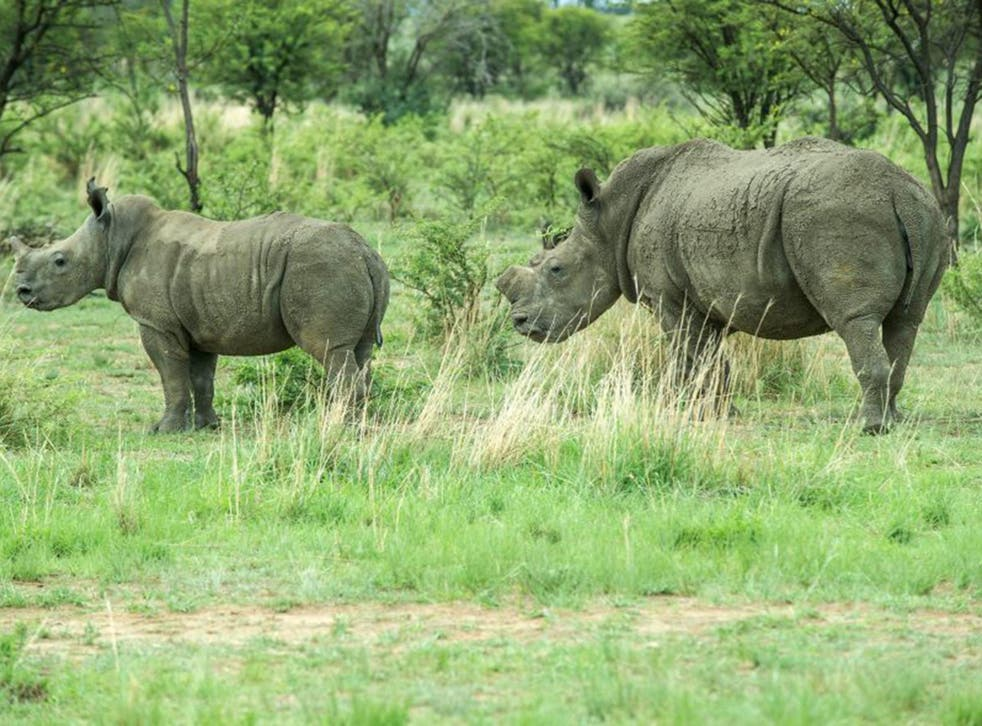 Dehorned rhinos roam at Rhino Ranch in Klerksdorp, South Africa