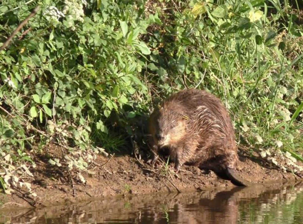 A beaver on the banks of the River Otter in Devon