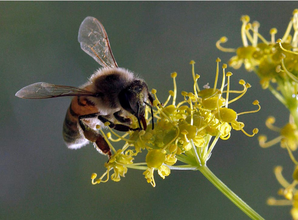 A honey bee collects pollen on a wild flower on a farm in the Jordan Valley