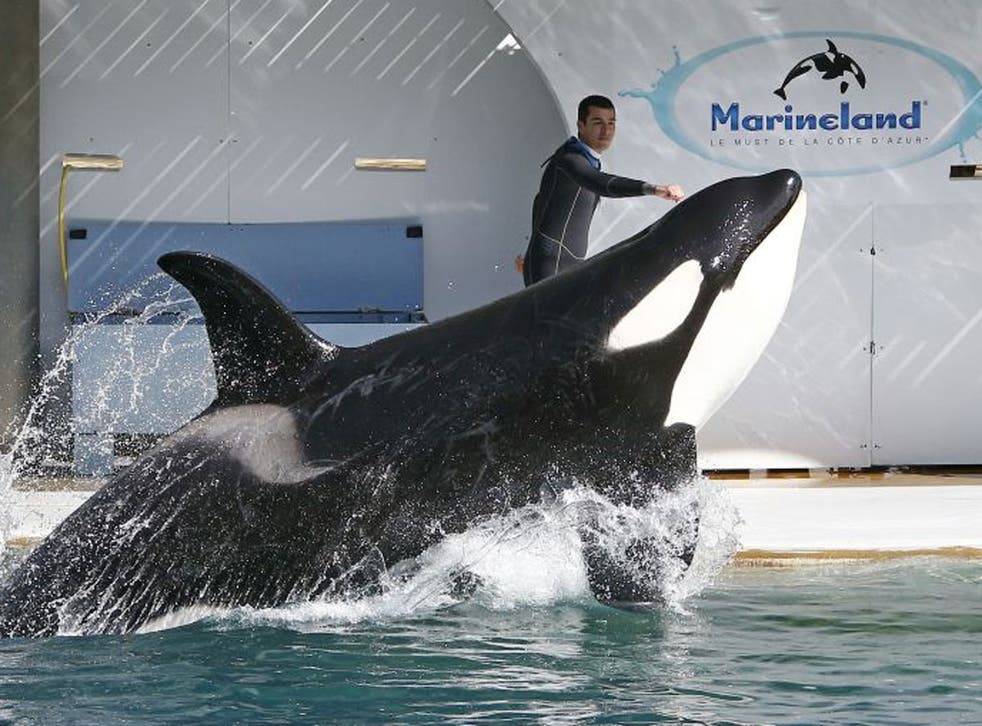 An orca whale performs at the Marineland Zoo in Antibes, France before its reopening, six months after the flooding that affected the French Riviera in October 2015