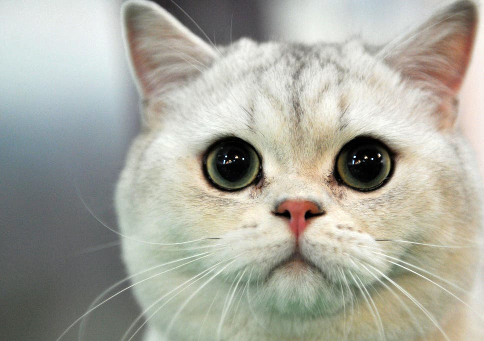 swedish scientists set to study whether cats have accents the