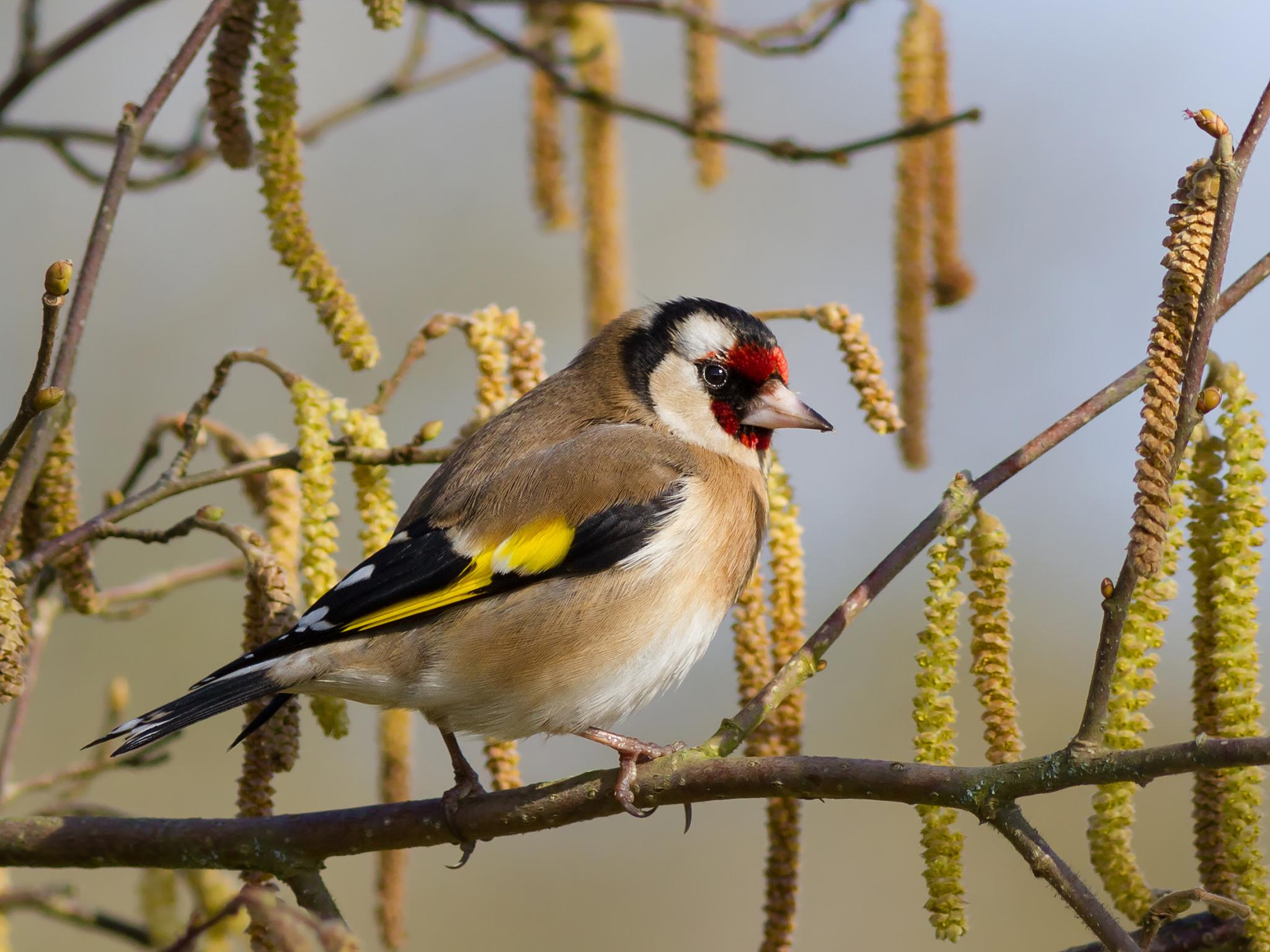 Organised crime finds a new type of contraband: goldfinches
