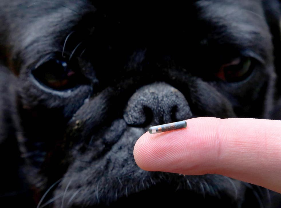 Darcy the Pug examining a dog microchip