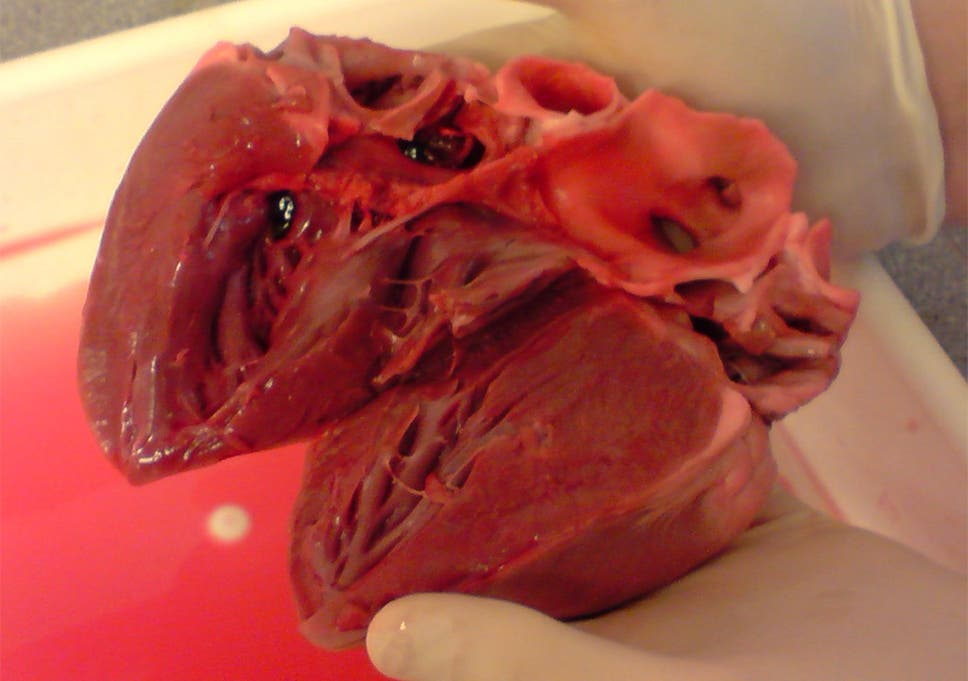 Transplanted Pigs Heart Survives In Monkey For At Least 51 Days In