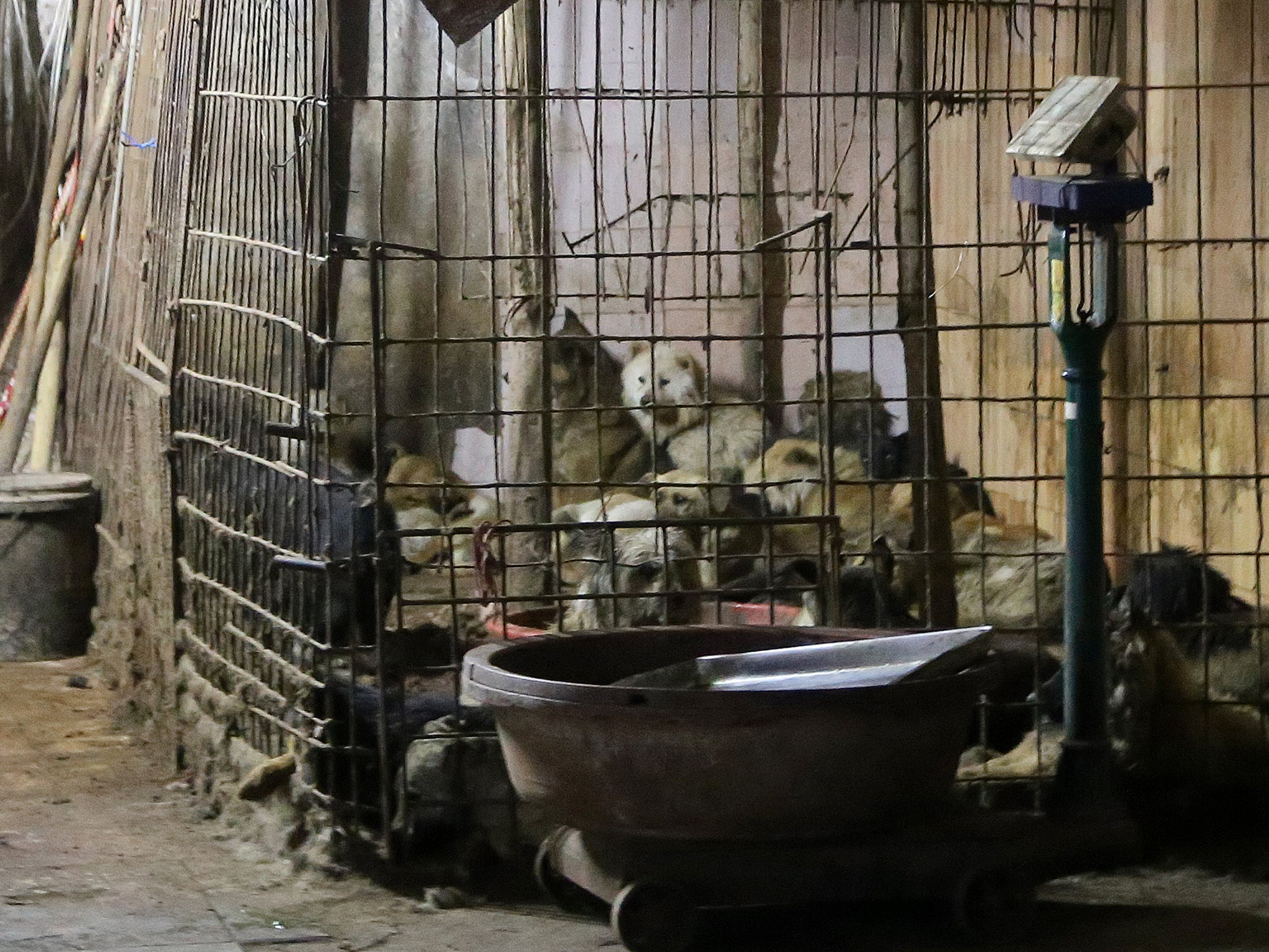 Dogs held at slaughterhouse, Yulin