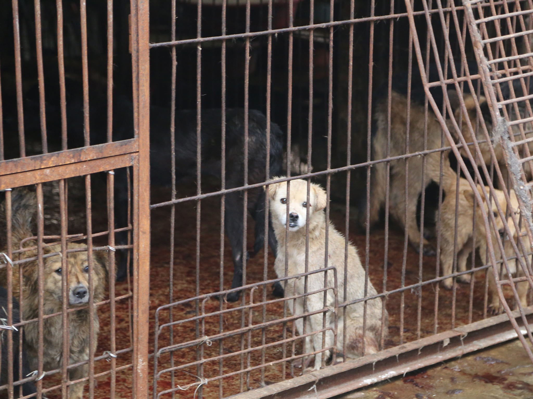 Dogs at slaughterhouse, Yulin