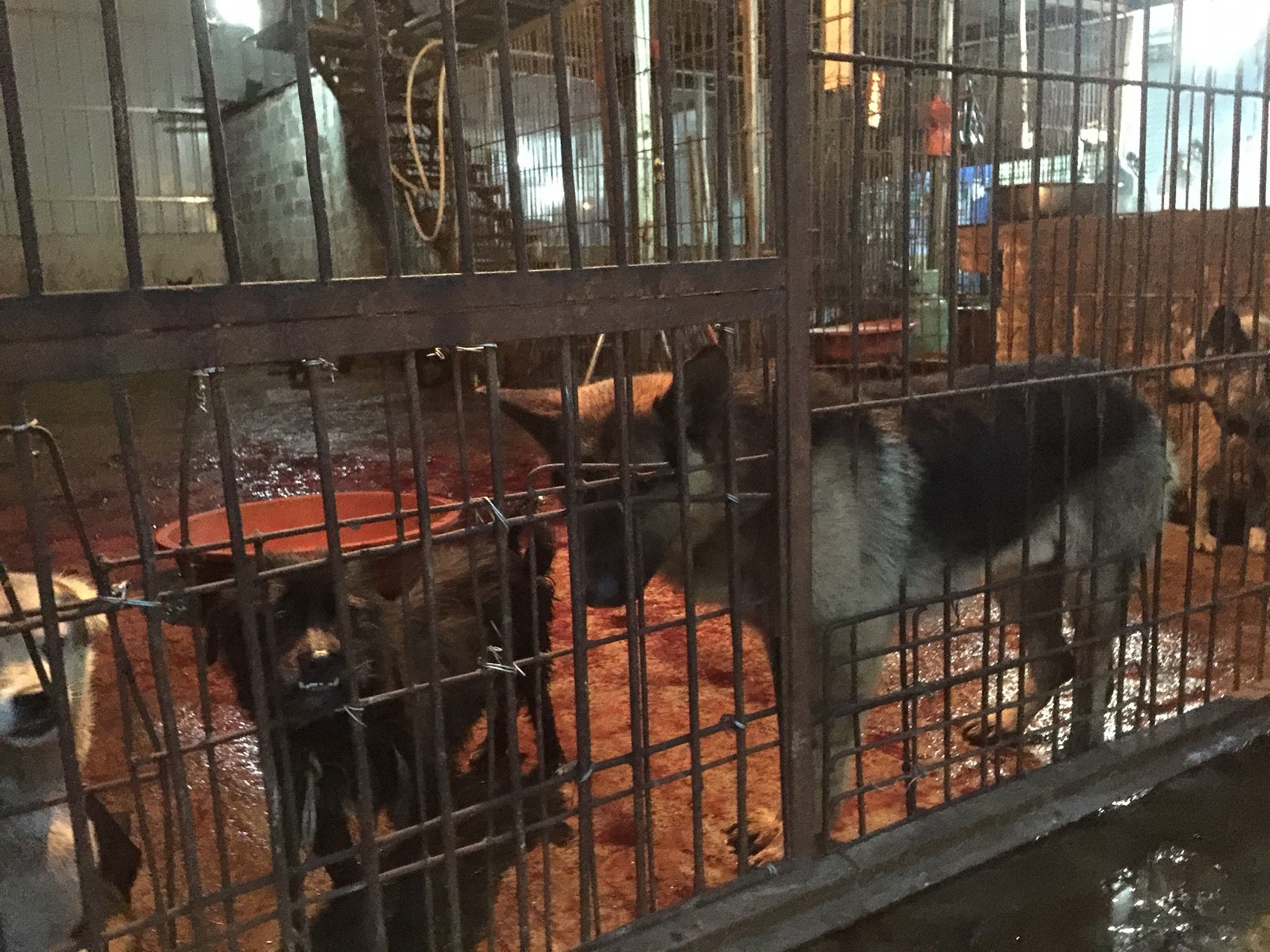 Dogs in blood-covered holding pen at slaughterhouse, Yulin