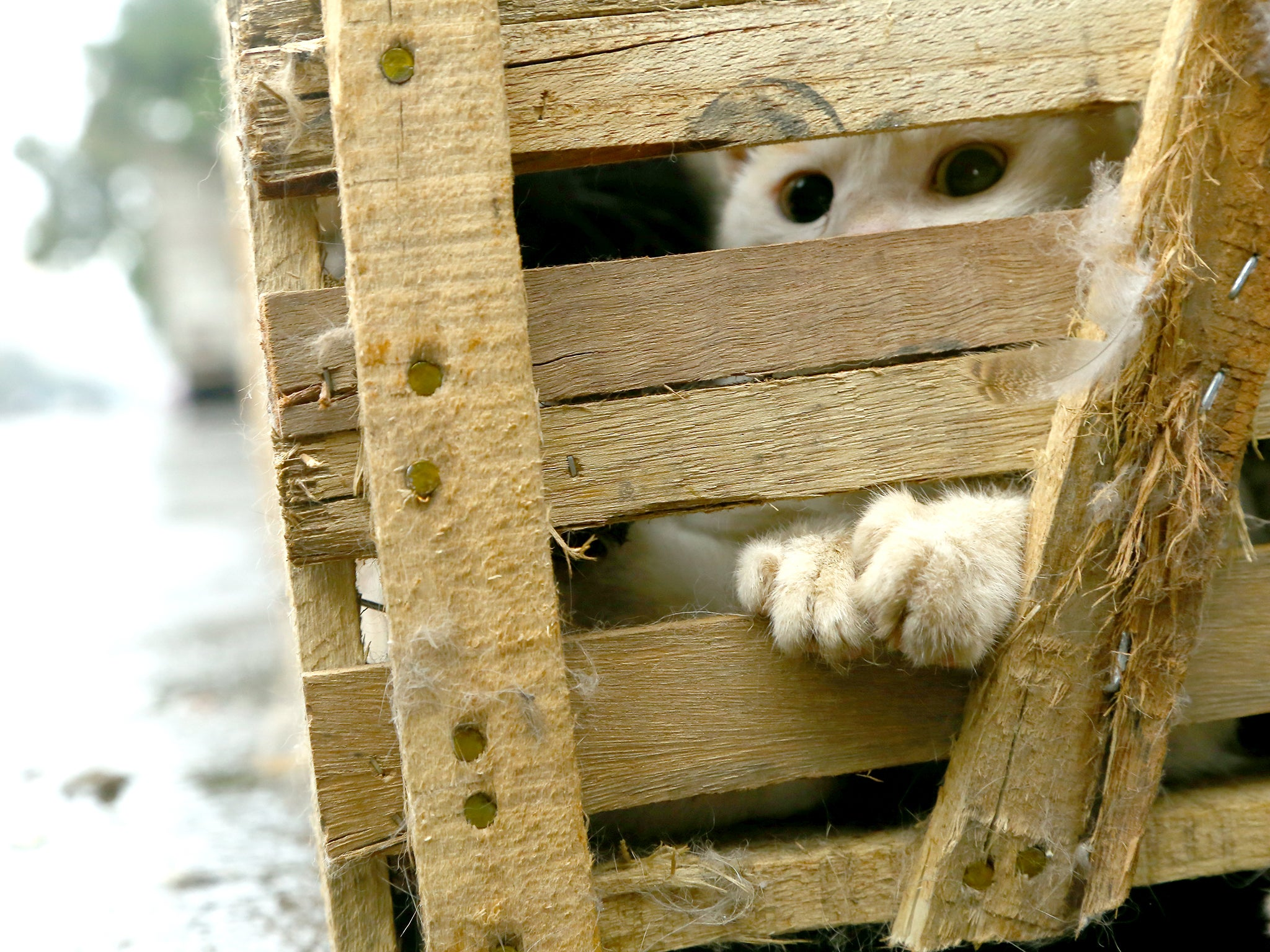 Cat looks out from its crate as arrives at slaughterhouse, Yulin