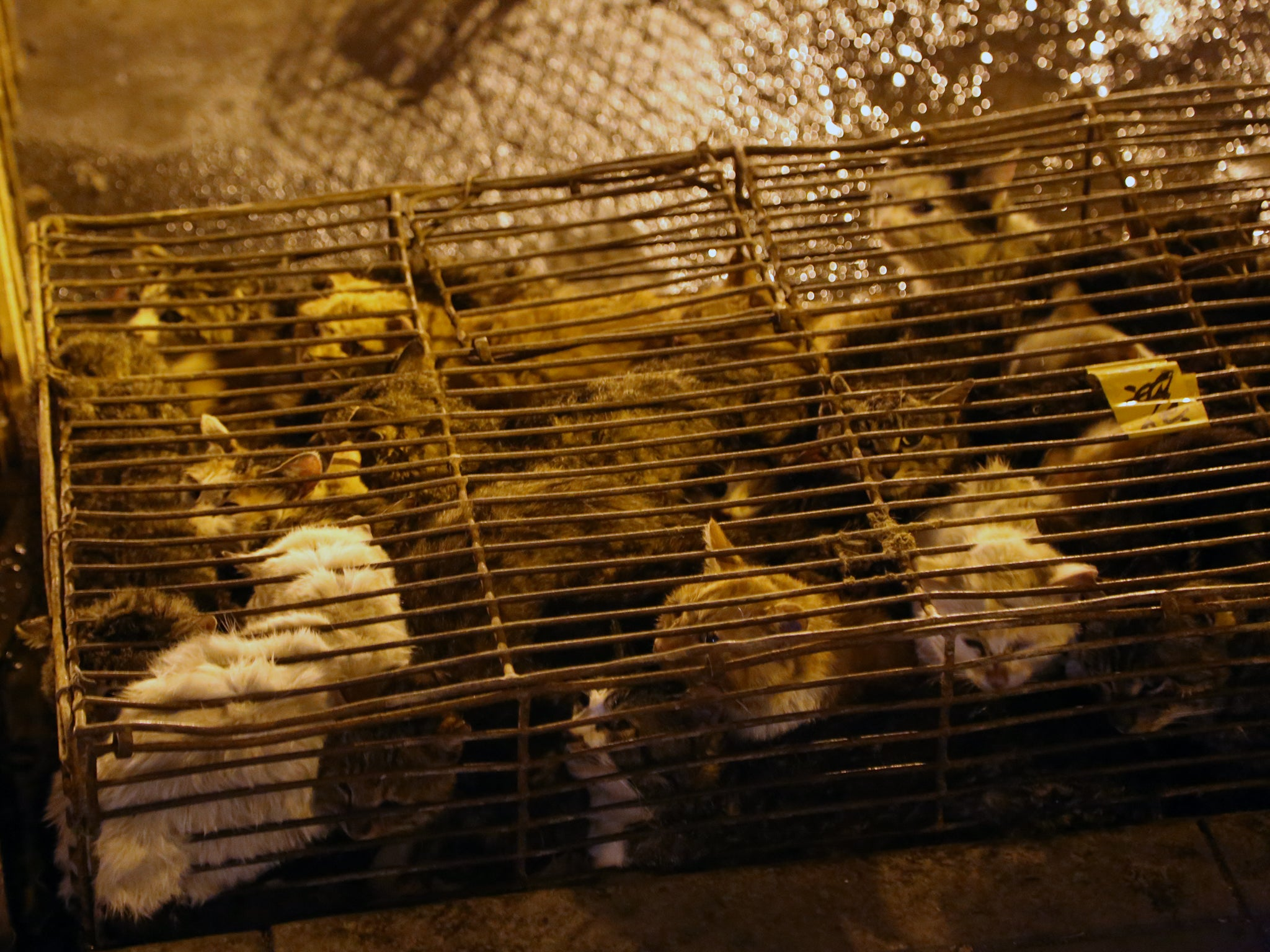 Cats crammed in wire cage, delivered to slaughterhouse in Yulin