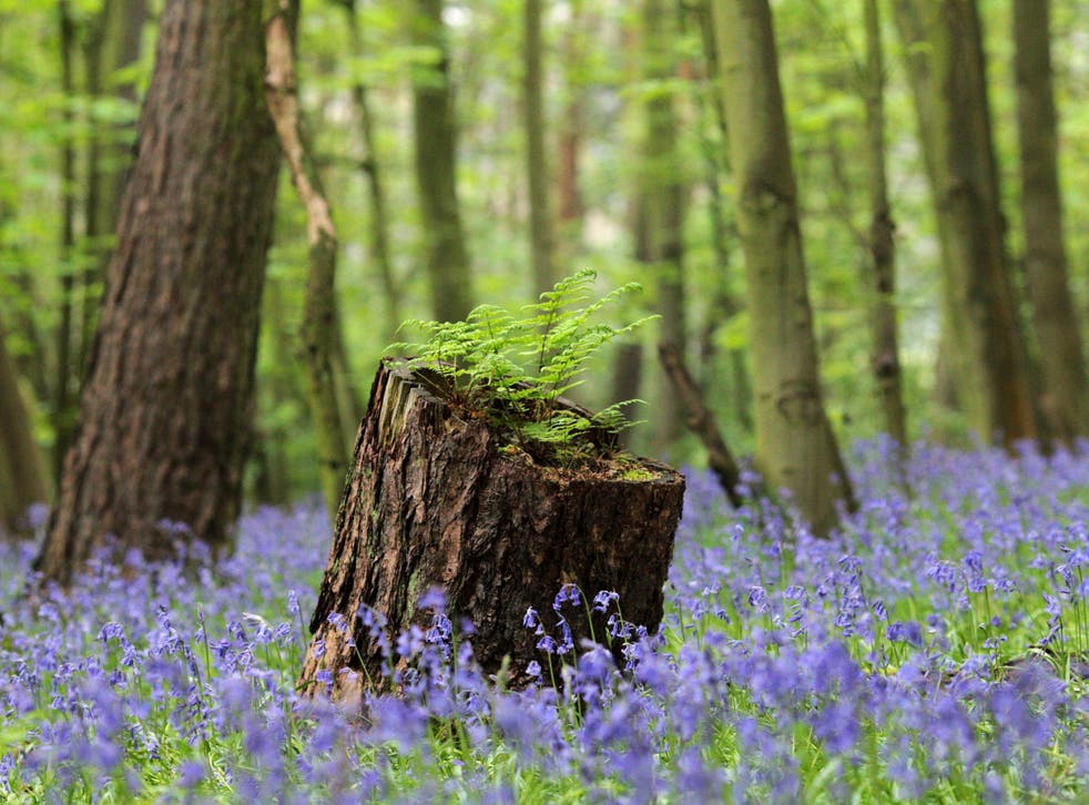 Bluebell flowers cover a woodland floor in Scunthorpe, north-east England