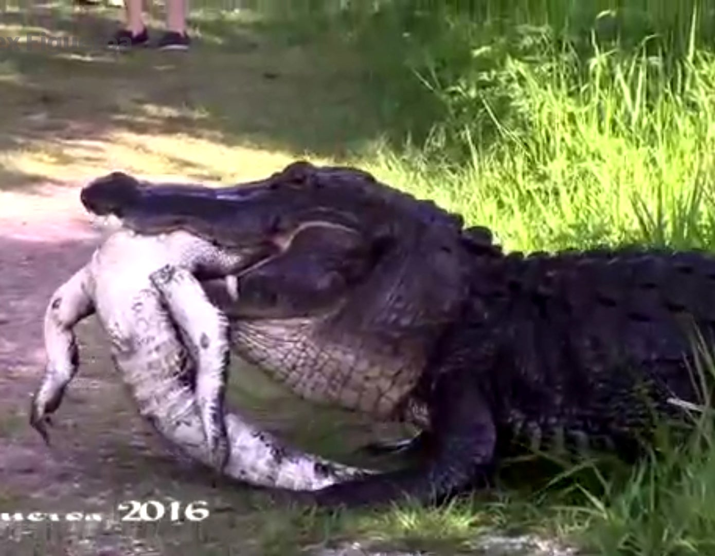 cannibal alligator devours another alligator in startling video