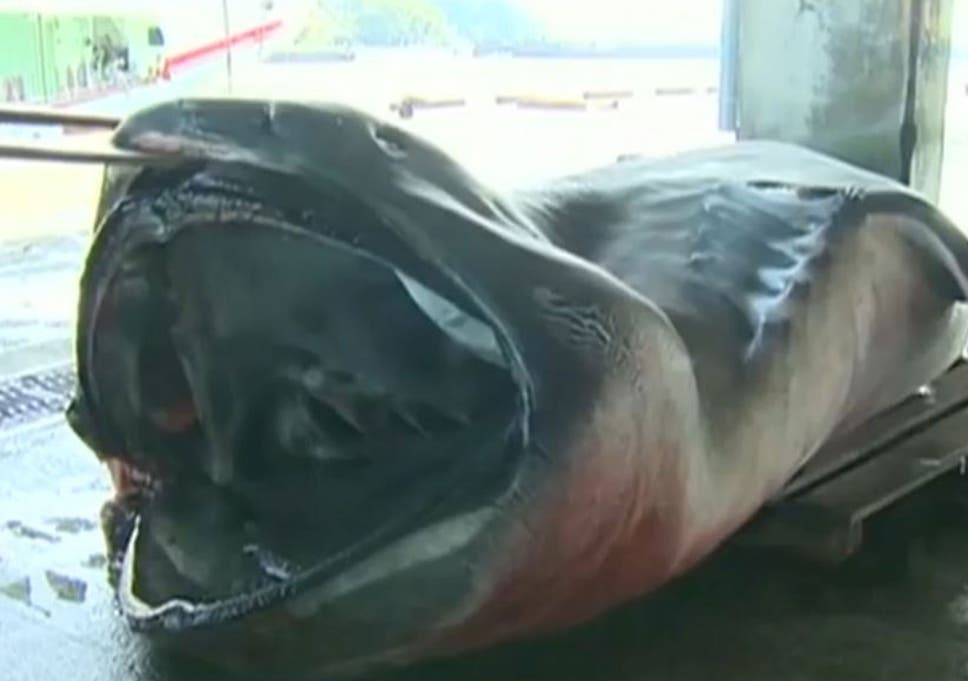 rare megamouth shark caught in japan the independent