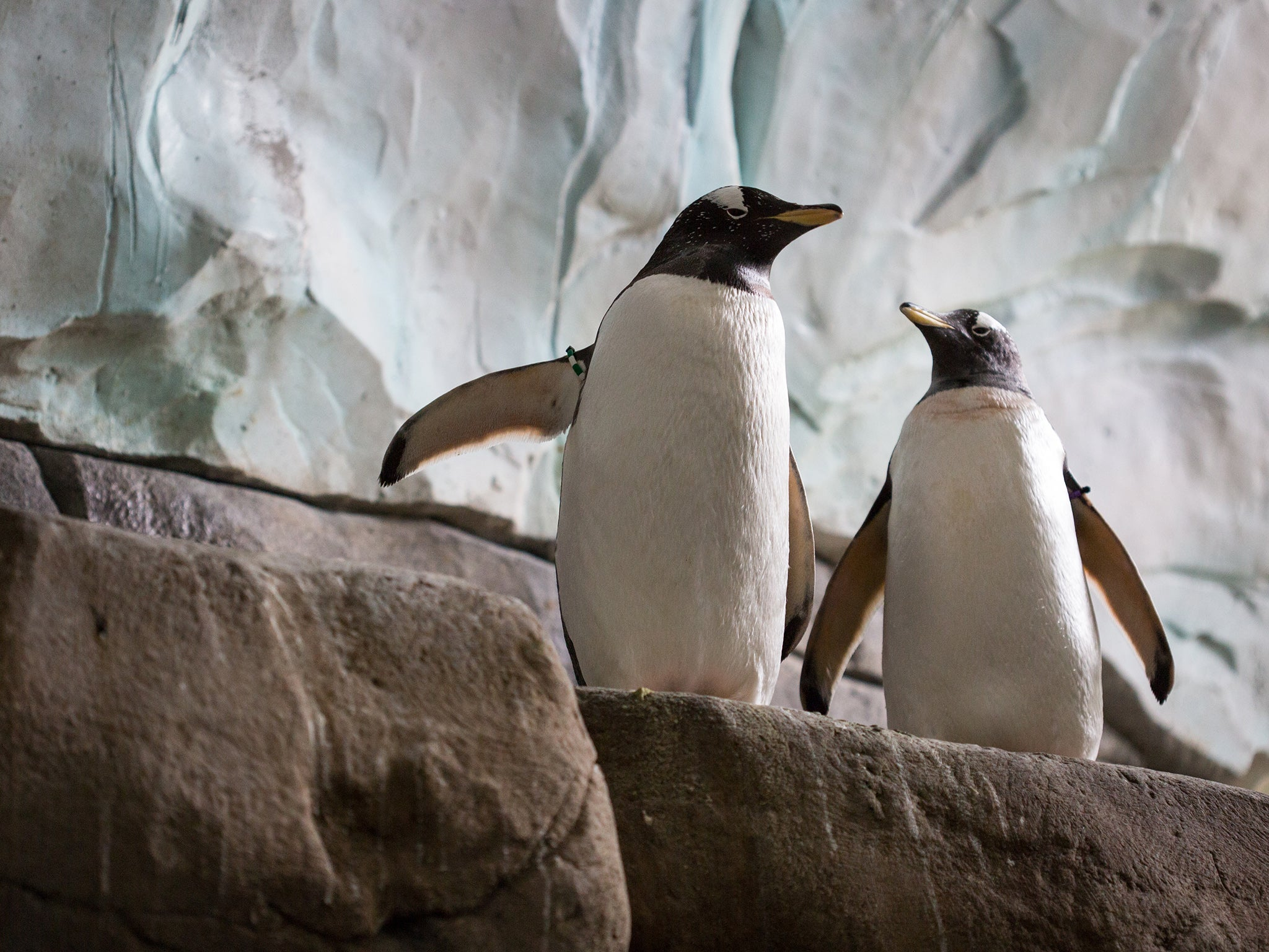 Two gay King penguins are being moved to Hamburg so they can stay together