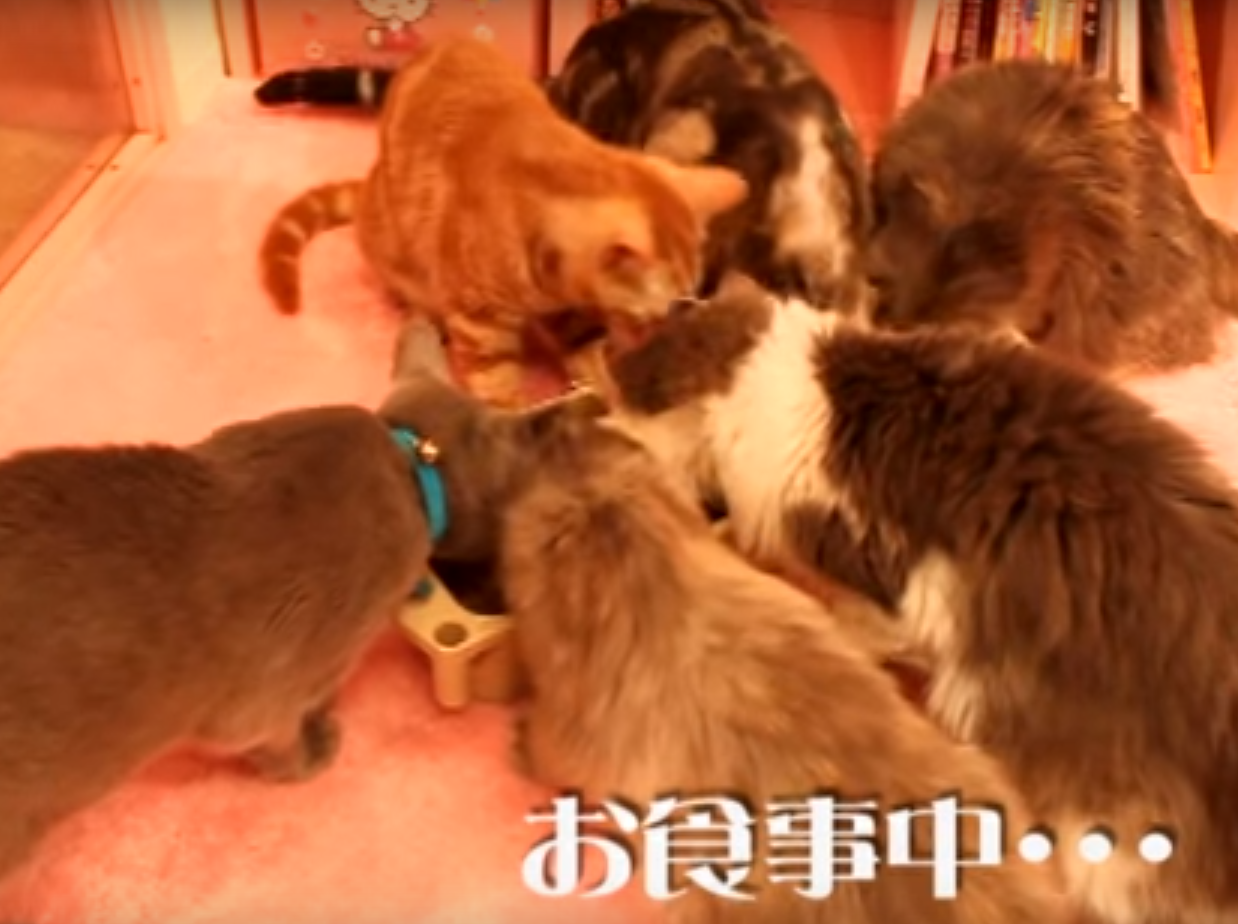 Cat café in Tokyo closed down due to 'unhygienic' conditions | The Independentindependent_brand_ident_LOGOUntitled
