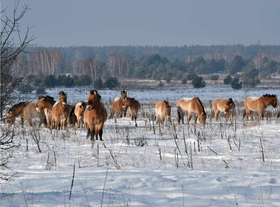 Wild horses in Chernobyl