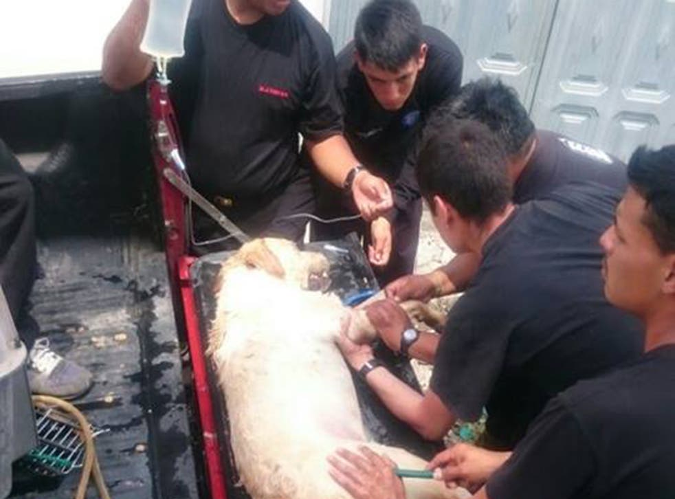 Dayko the Labrador retriever receiving emergency first aid after collapsing amid the rubble