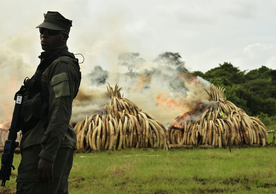 8f2c3f9d4a289 A ranger stands in front of burning ivory stacks at the Nairobi National  Park on April