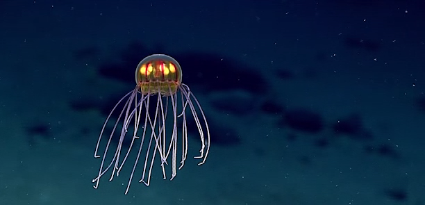This newly discovered jellyfish looks like a 'beautiful' Pixar character