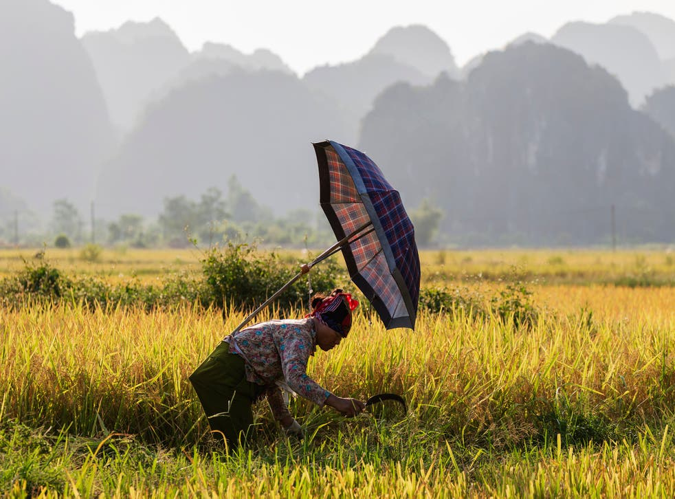 A rice workers harvest rice from a paddy in Ninh Binh, Vietnam, in the shadow of the karst peaks